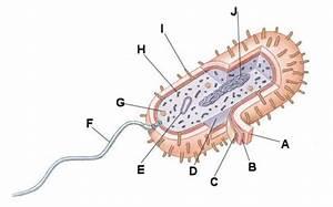 Coccus Bacteria Diagram