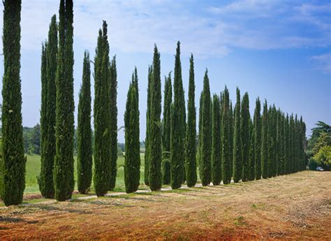 tuscan tree types italian cypress tree facts cultivars growth rate