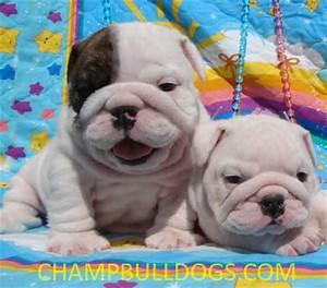 English Bulldog puppies for sale, English Bulldogs ...