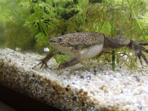 elevage de grenouille en aquarium repas xenopus m 226 le grenouille