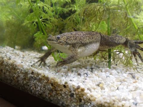 repas xenopus m 226 le grenouille