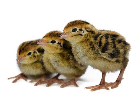 Quail Quail Chicks