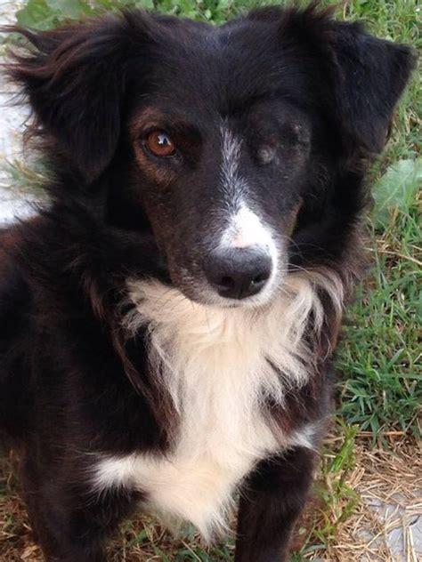 billy  year  male sheltie cross border collie dog