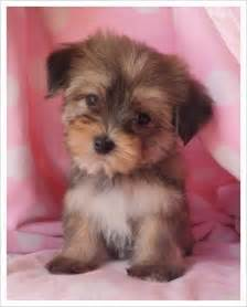 i would like to have a teacup morkie