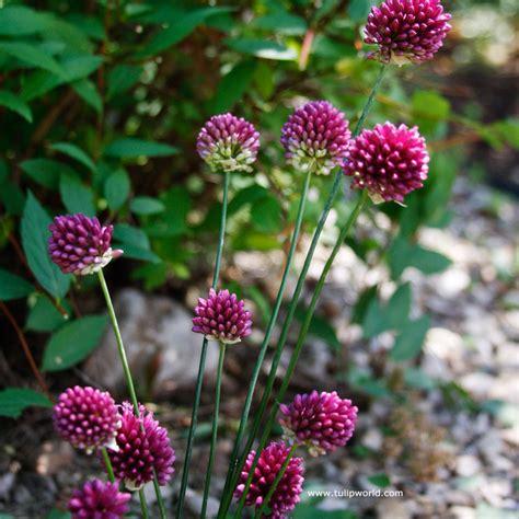 drumstick allium bulbs tulip world drumstick allium 31108