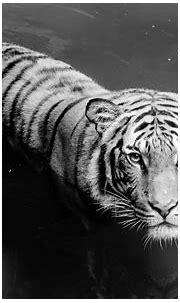 White Tiger HD Wallpaper   Background Image   1920x1200