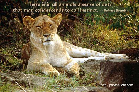 lion  lioness quotes quotesgram
