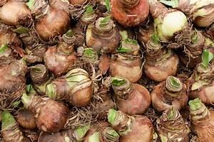 Zwiebeln Richtig Lagern : amaryllis zwiebeln lagern so bewahren sie sie auf ritterstern ~ Watch28wear.com Haus und Dekorationen