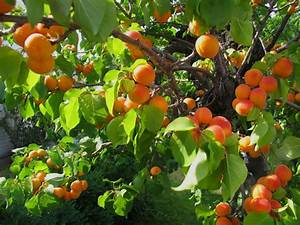 """Apricots are known as - """"Moons of the Faithful ..."""