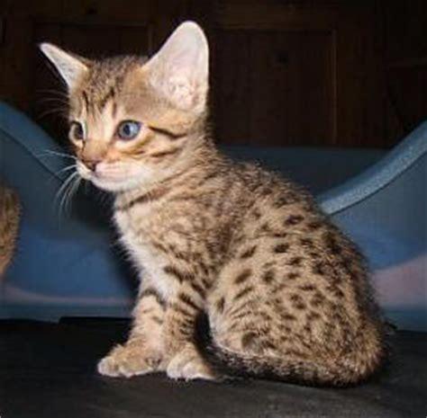 ocicats kitten  cat pictures