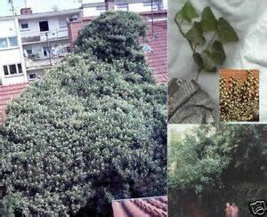 Efeu Pflanzen Kaufen : efeu samen pflanzen f r dunkle standorte stellen im garten schattenpflanzen deko ebay ~ Buech-reservation.com Haus und Dekorationen