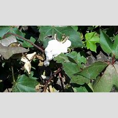 What Does A Cotton Plant Look Like? Growing Cotton In The South Youtube