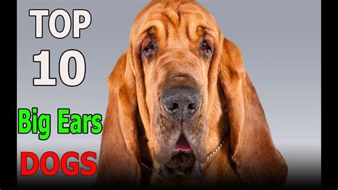 top  dog breeds  big ears top  animals youtube
