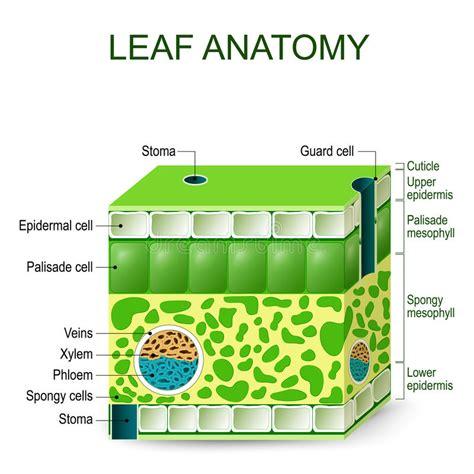 human anatomy leaf anatomy livingstone biodidac leaf
