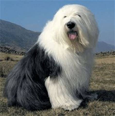 english sheepdog  risk  extinction