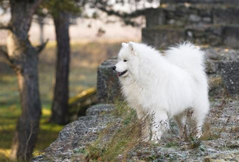 does samoyed shed a lot get to the samoyed from russia with
