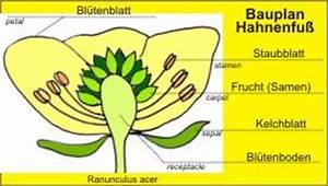 Aufbau Einer Blume : probe bauplan von pflanzen bl te blatt wurzel ~ Whattoseeinmadrid.com Haus und Dekorationen