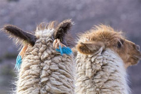 Two Beautiful Llamas, Argentina Stock Photo  Image 57930367