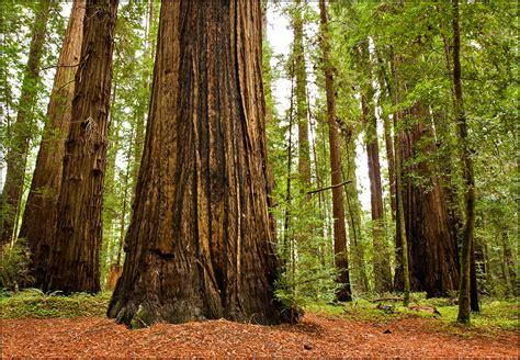 redwoods backgrounds  wallpapers wallpapersafari