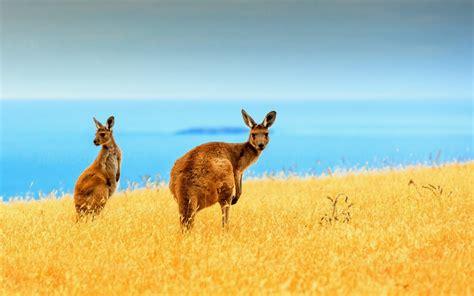 Kangaroo Life Wallpapers  1280x800 281009