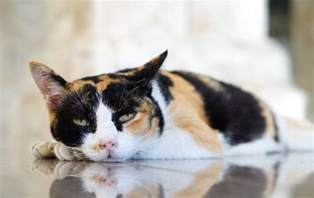 lethargic cat american lethargy the american conservative