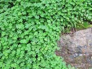 Hang Bepflanzen Bodendecker : bodendecker pflanzen wachstum anlegen s en ernten ~ Sanjose-hotels-ca.com Haus und Dekorationen
