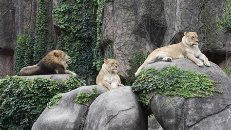 zoo zoos travel budgettravel budget lion pride african america