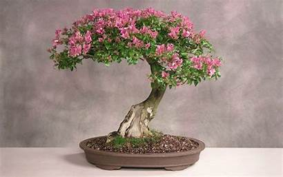 Wallpapers Bonsai Tree