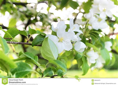 early blooming white flower tree early spring flowering apple tree with bright white flowers stock photo image 90653879