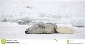 Mother Harp Seal Cow And Newborn Pup Stock Images - Image ...