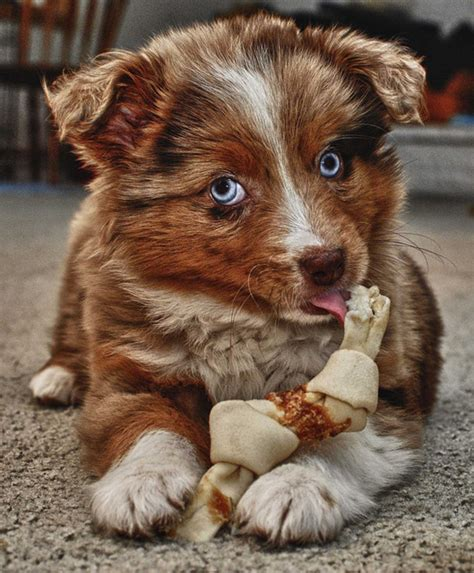 dog australian shepherd puppies breeds dogs horses puppy aussie cute around breed pets shepherds animals mix along miniature husky flickr