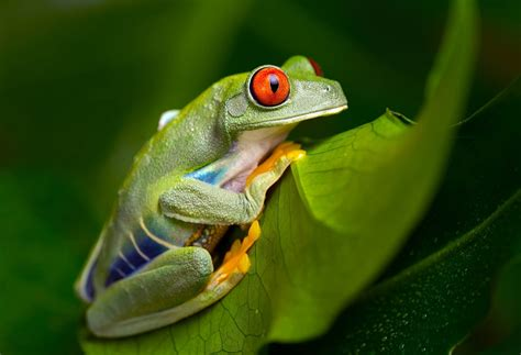 Rã-de-olhos-vermelhos » Anfíbios » Exposição Permanente