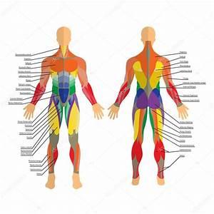 Detaillierte Darstellung Menschlicher Muskeln   U00dcbung Und