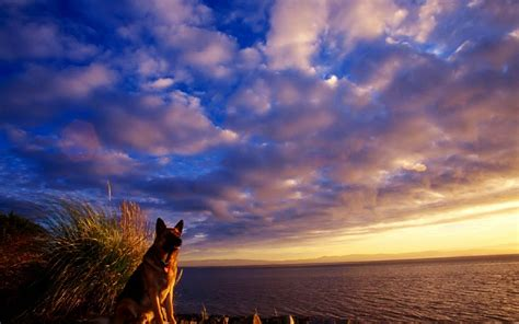 german shepherd  ultra hd wallpaper  background image
