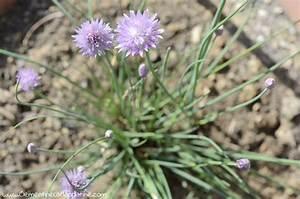 Herbes Aromatiques En Pot : 8 herbes aromatique cultiver en pot recette vegan ~ Premium-room.com Idées de Décoration