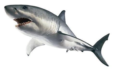 shark facts  kids information  sharks dk find