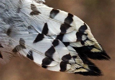 downy woodpecker feathers