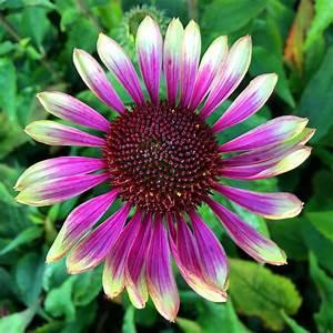 Sonnenhut Pflanze Kaufen : sonnenhut 39 green twister 39 online kaufen bei ahrens sieberz ~ Buech-reservation.com Haus und Dekorationen
