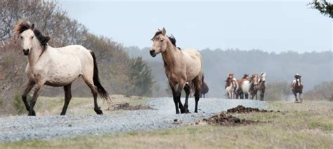 chincoteague ponies assateague wild bonnie swim file commons history virginia maryland wikimedia va atlantic islands known mid