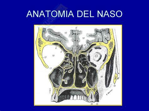 dispense anatomia otorinolaringoiatria anatomia naso dispense