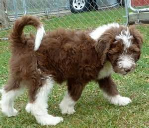 aussiedoodle haircuts dog breeds picture