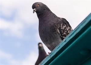 Faire Fuir Les Pigeons : comment faire fuir les pigeons toutpratique ~ Melissatoandfro.com Idées de Décoration