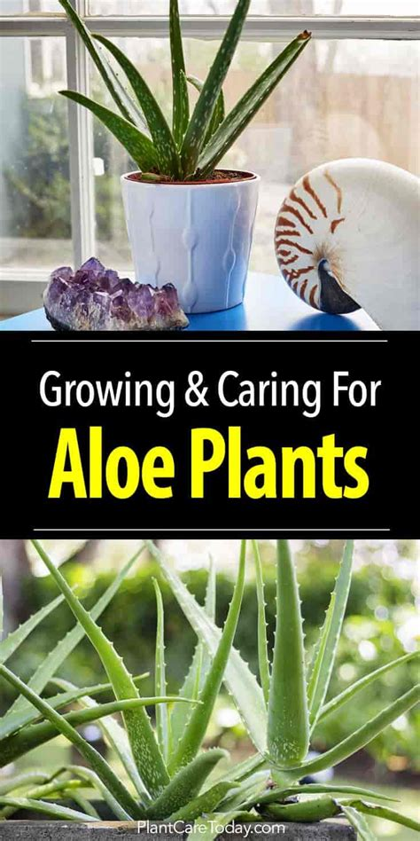 how do you care for bushes aloe vera plant care how to grow aloe plants indoors and out