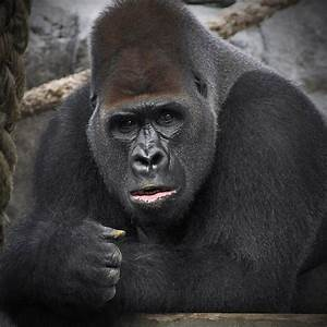 50 best images about Gorillas on Pinterest | Snowflakes ...