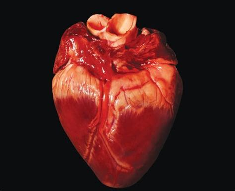 The Gallery For --> Real Heart And Lungs