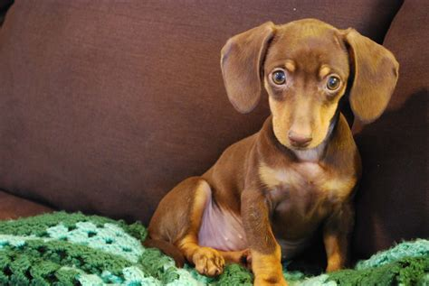 Busting  Myths About The Dachshund Dog Reference