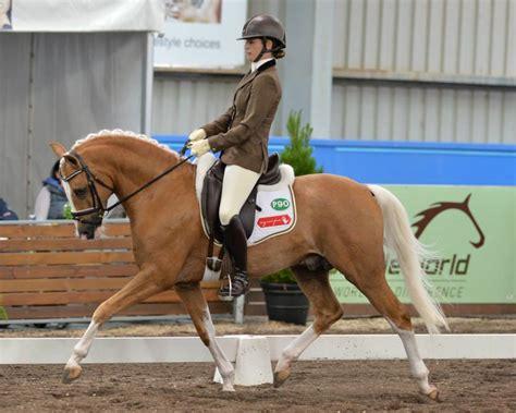 pony riding german dressage stallion chestnut baby