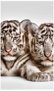 White Tiger HD Wallpapers (70+ background pictures)