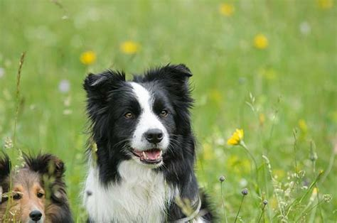 sheltie shed is border collie shedding really that big a problem
