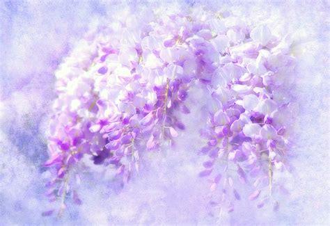 blue rain wisteria flowers  image  pixabay
